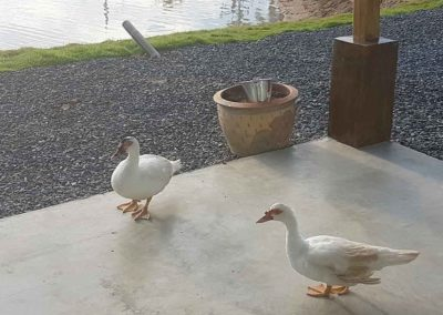 The Muscovy ducks that appear to have adopted us at Chalong Fishing Park