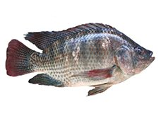 Tilapia at Chalong Fishing Park